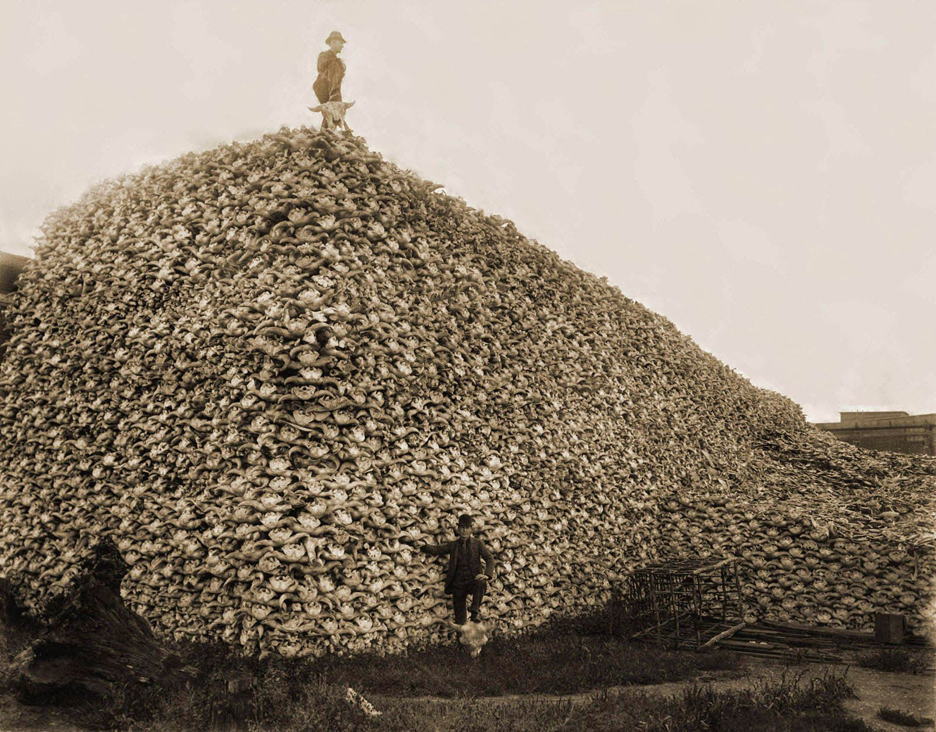 Bison were hunted to extinction to eliminate a crucial food source for Native plains peoples