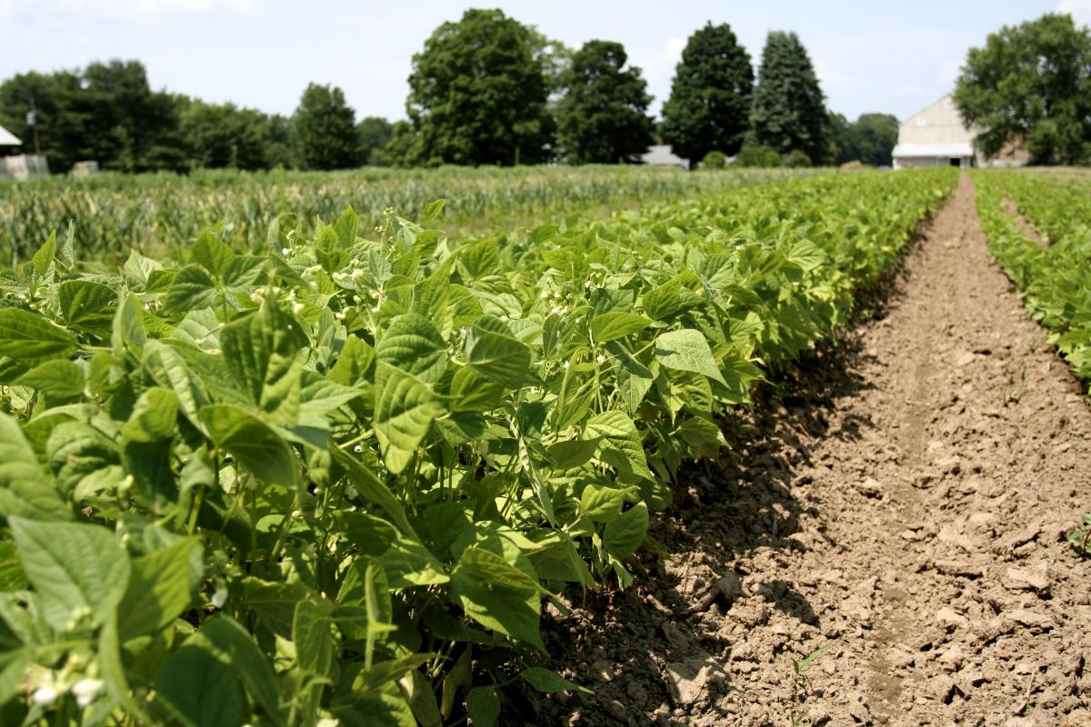 farm field with beans, credit: CISA