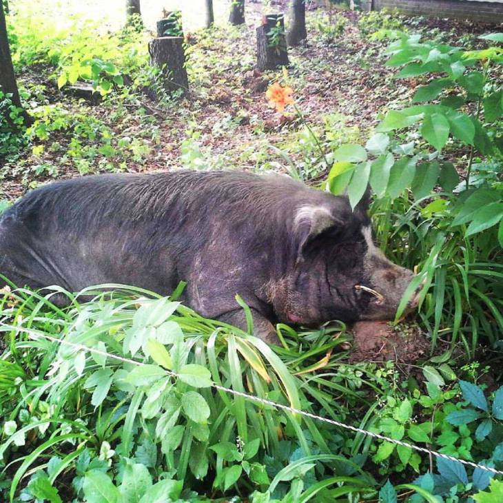 Pig Floyd in the grass